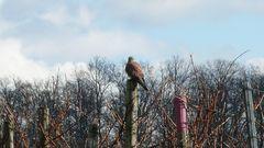 Falke in Kleinbottwar