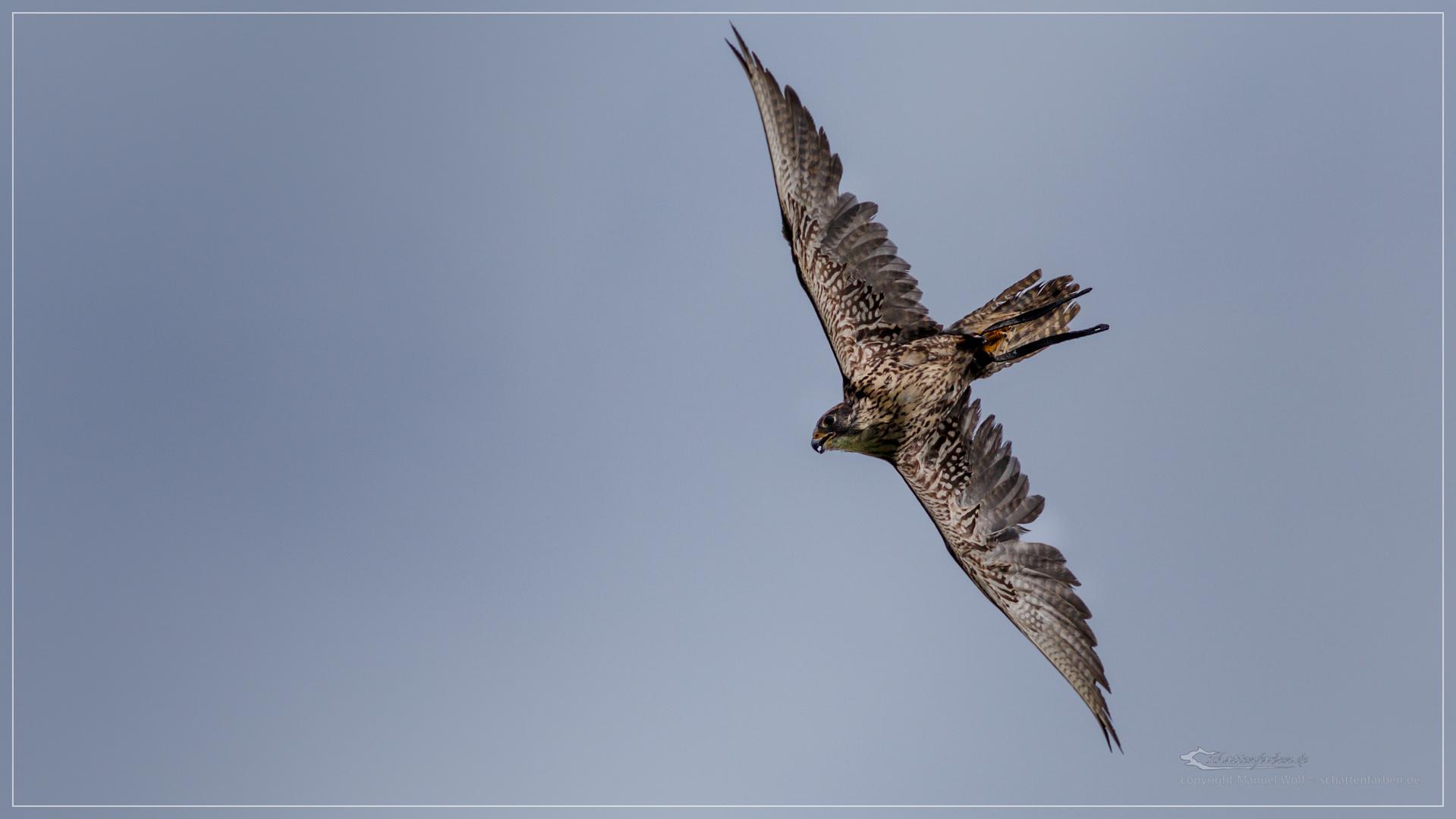 Falke kurz vor dem Sturzflug