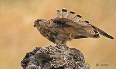 Falke (Turmfalke Falco tinnunculus)