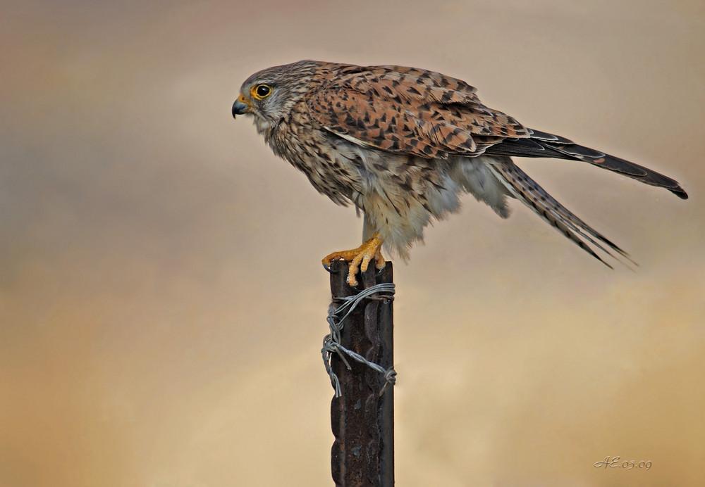 """Falke (Turmfalke)  """"Gepard der Lüfte"""""""