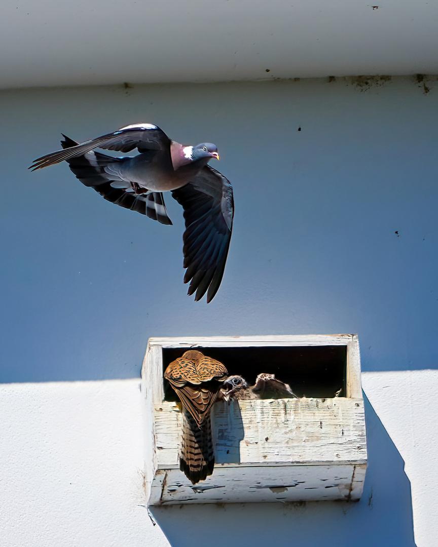 Falken beim füttern und Taube fliegt drüber