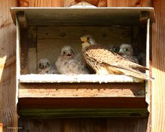 Falken mit 5 Jungen