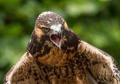 Falken und Bussarde 3