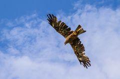 Falken und Bussarde 8