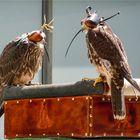 Falken unter der Haube