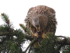 Falkenweibchen beim Festschmaus