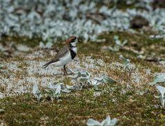 Falkland-Regenpfeifer >Charadrius falklandicus<