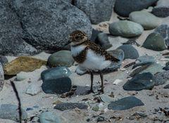 Falkland-Regenpfeifer >Charadrius falklandicus