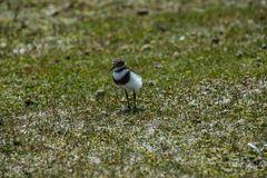 Falkland- Regenpfeifer   (?)  (Strandsteher)