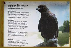 Falklandkarakara - Falknerei Remscheid