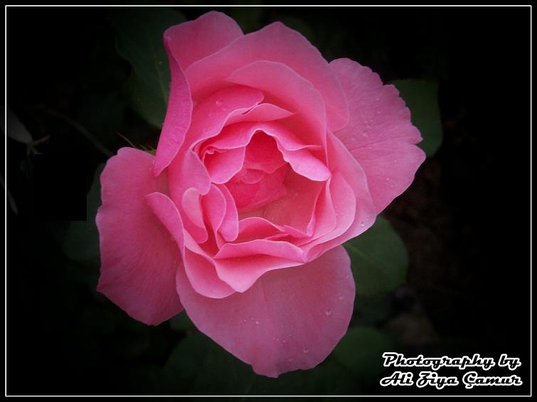 Fall Pink