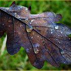 fallen oak leav
