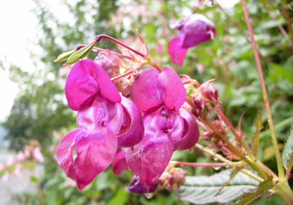 falsche Orchidee