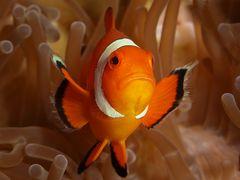 Falscher Clownfisch....