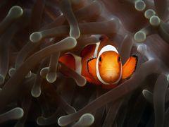 Falscher Clownfisch oder Orangeringel Anemonenfisch