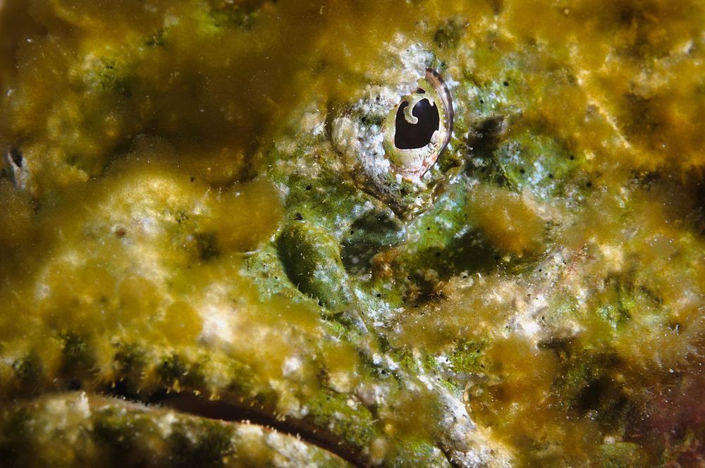 Falscher Steinfisch - Scorpaenopsis diabolus
