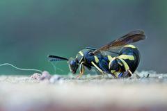 Falten-Erzwespe (Leucospis dorsigera)