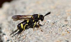 Falten-Erzwespe (Leucospis dorsigera - Leucospididae)
