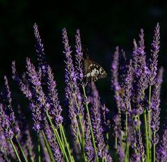 Falter am Lavendel