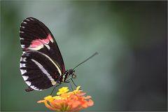Falter auf einer Blüte