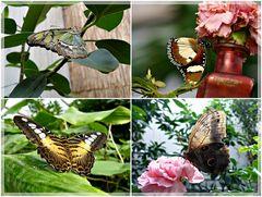Falter im Schmetterlingshaus...