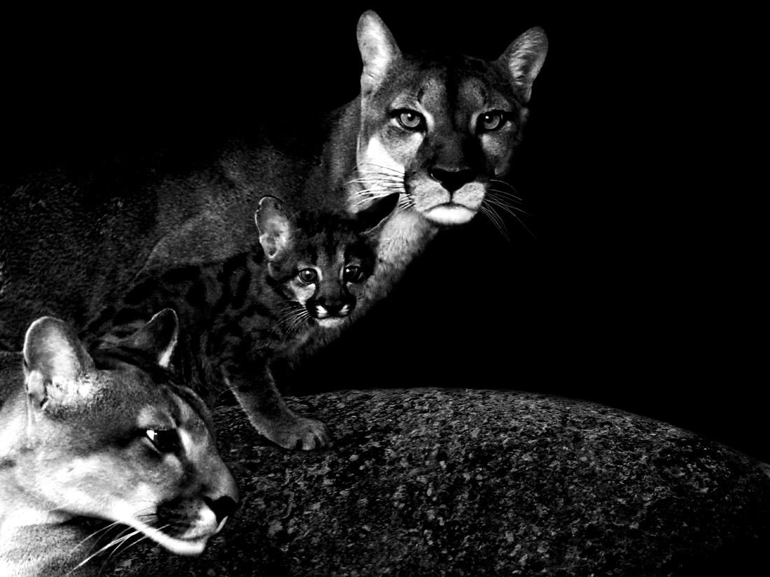 Familia de pumas