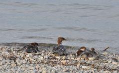 Familie Gänsesäger macht eine kleine Pause am Strand