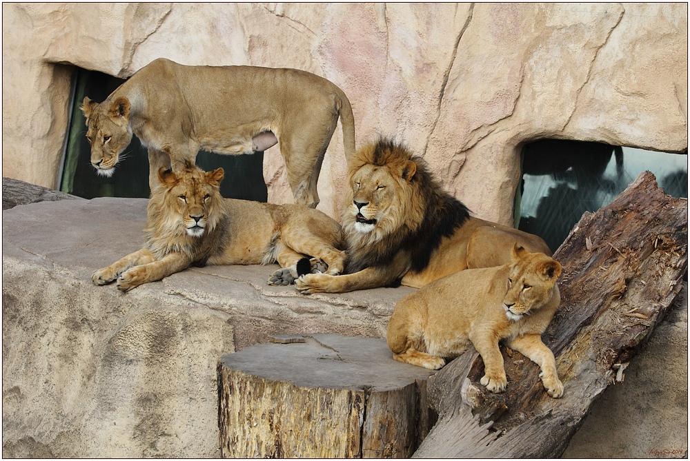 Familie Löwe (2)