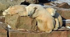 Familie Nürnberger Eisbären beim dösen in der Sonne
