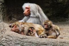 Familie Pavian.