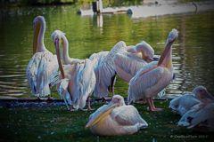 Familie Pelikan beim Schönheitsputz
