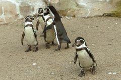 Familie Pinguin