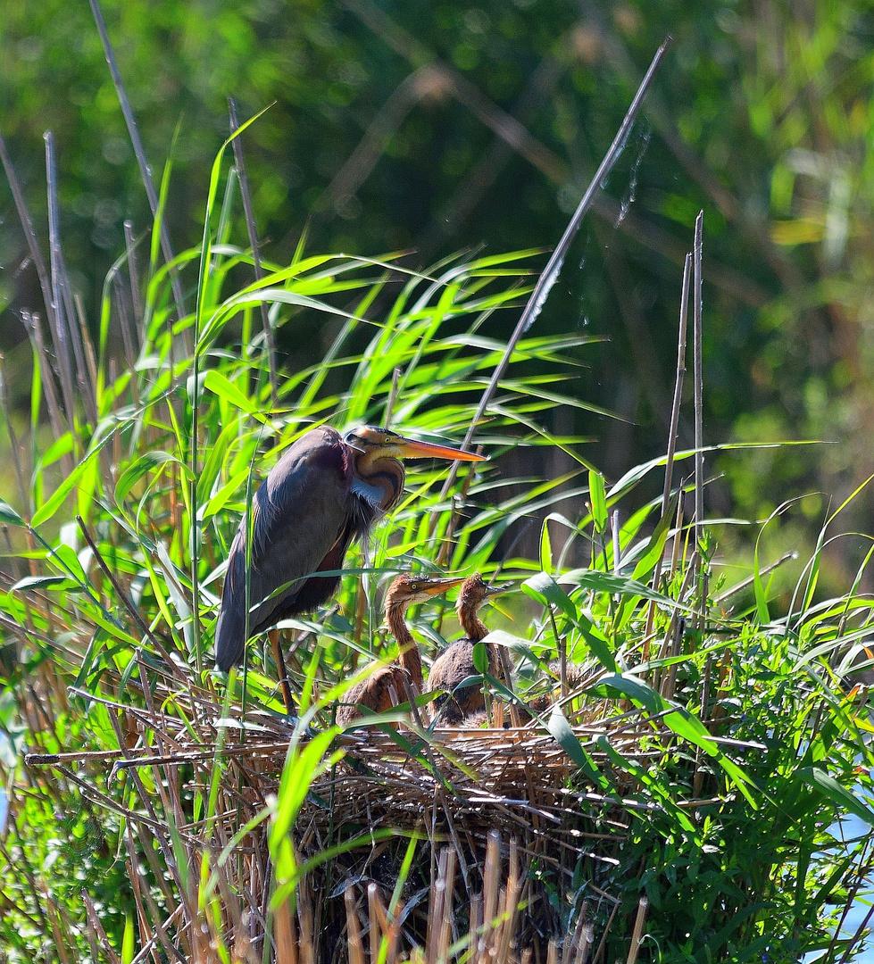 Familie Purpurreiher, (Ardea purpurea), Purple heron family, familia de ardea purpurea