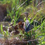 Familie Purpurreiher, Purple heron family, familia garza imperial