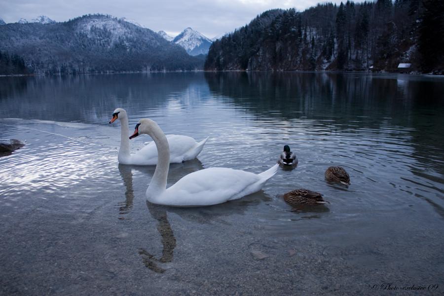 Familie Schwan-Ente oder Ente-Schwan?