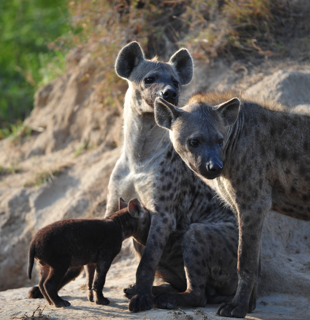 Familienglück bei den Hyänen 2