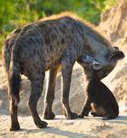 Familienglück bei den Hyänen