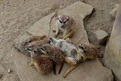Familienleben bei den Erdmännchen