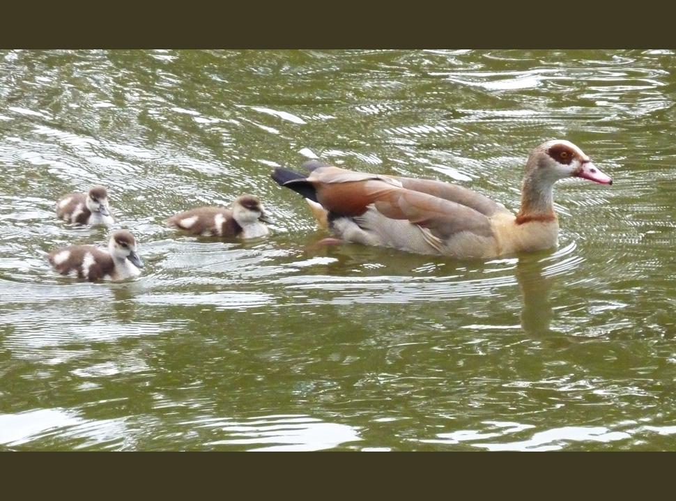 Familientag bei Enten - Nilgänsen
