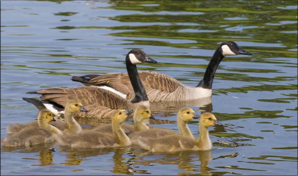 Famille bernache au bain