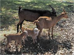 Famille caprine