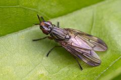 Famille des Sciomyzidae, Dorycera sp.