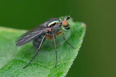 Famille Dolichopodidae ; Dolichopus sp.