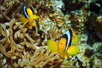 *Fam.Nemo*