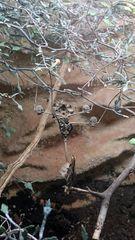 Fangschrecke gut getarnt