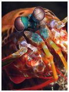 Fangschreckenkrebs