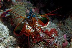 Fangschreckenkrebs (Schmetterer)