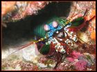 Fangschreckenkrebs [Stomatopoda]
