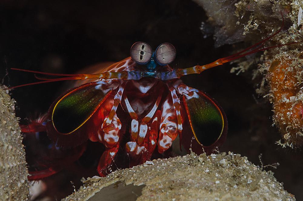 Fangschreckenkrebse