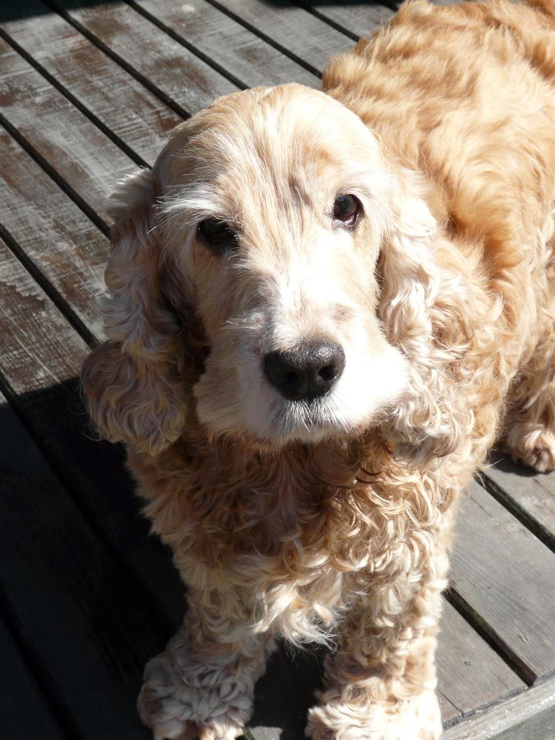 Fanny - cocker spaniel, my sweet dog